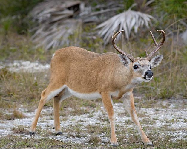 Crouching Buck