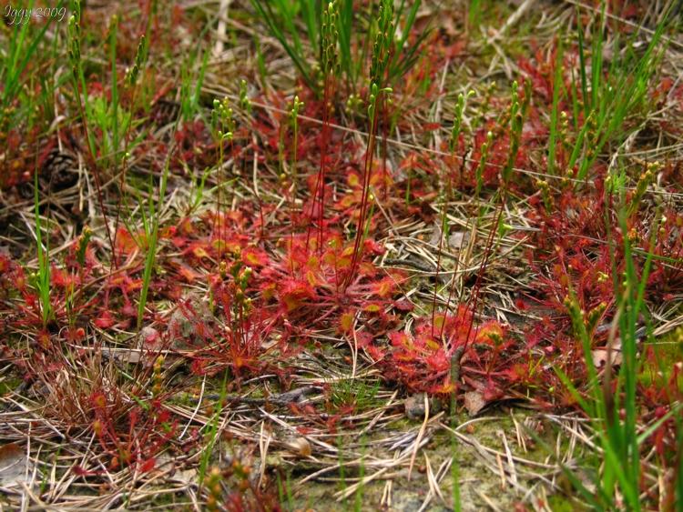 Drosera rotundifolia and intermedia growing side by side