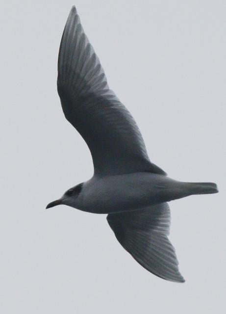 Mediterranean Gull - Larus melanocephalus - Gaviota cabecinegra - Gavina capnegra
