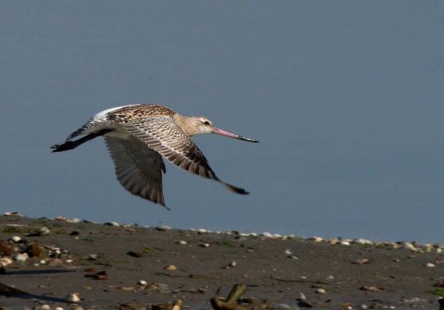 Bar-tailed Godwit - Limosa lapponica - Aguja Colipinta - Tetol cuabarrat