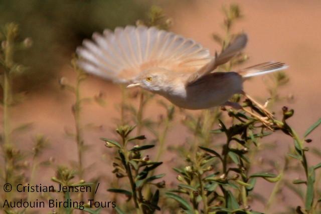 African Desert warbler - Sylvia (nana) deserti
