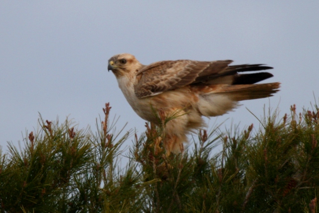 Long-legged Buzzard perched - Buteo rufinus