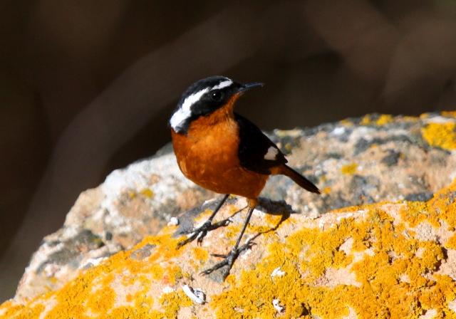 Mousiers Redstart - Phoenicurus mousieri