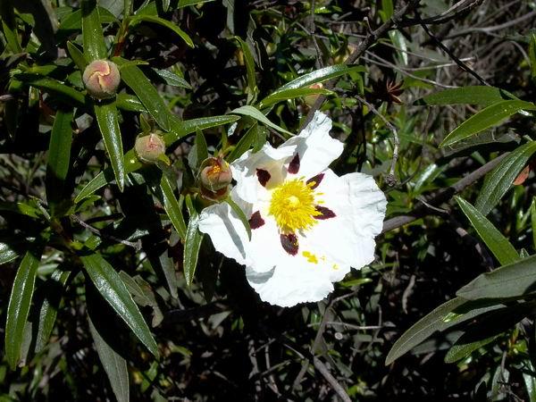Ladanifer or Gum Cistus (Rockrose family) - Cistus ladanifer - Jara - Estepa