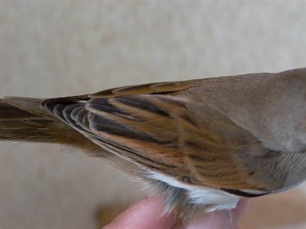 Common Whitethroat - Sylvia communis - Curruca zarcera - Tallareta Vulgar