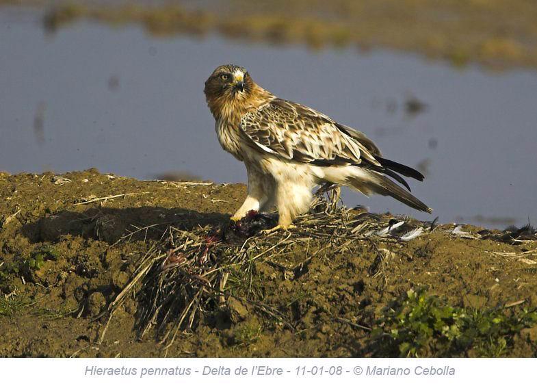 Booted Eagle - Hieraetus pennatus - Aguila calzada - Aguila calçada