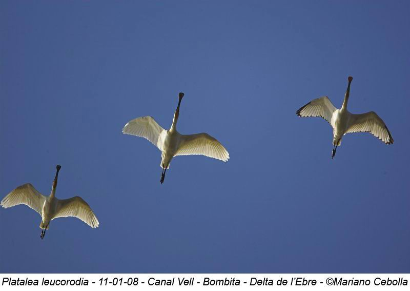 Spoonbill - Platalea leucorodia - Espátula - Bec-planer