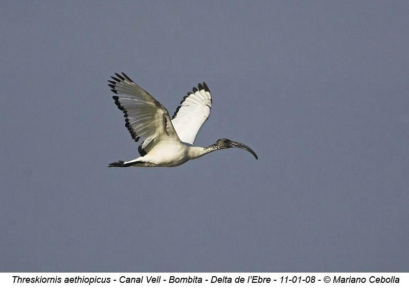 Sacred Ibis - Threskiornis aethiopicus - Ibis sagrado - Ibis Sagrat