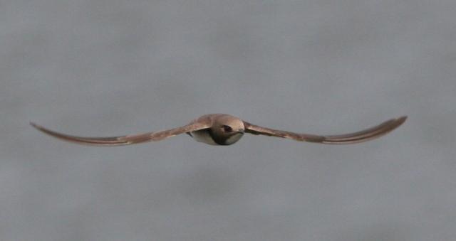 Alpine swift - Apus melva - Vencejo Real - Ballester