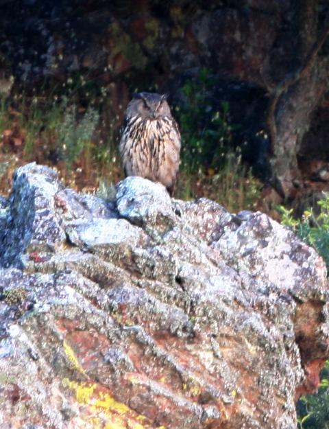 Eagle owl - Bubo bubo - Buho Real - Duc - Hibou Grand-duc