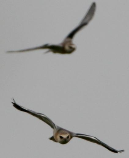 Black-winged Kite - Elanus caeruleus - Elanio azul - Esparver dEspatlles negres