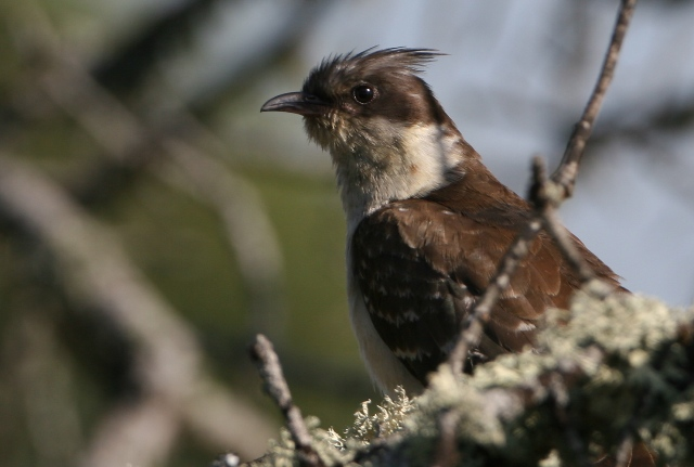 Great spotted cuckoo - Clamator glandarius - Crialo - Cucut reial