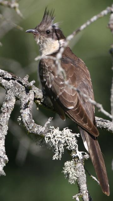 Great spotted cuckoo - Clamator glandarius - Críalo - Cucut reial
