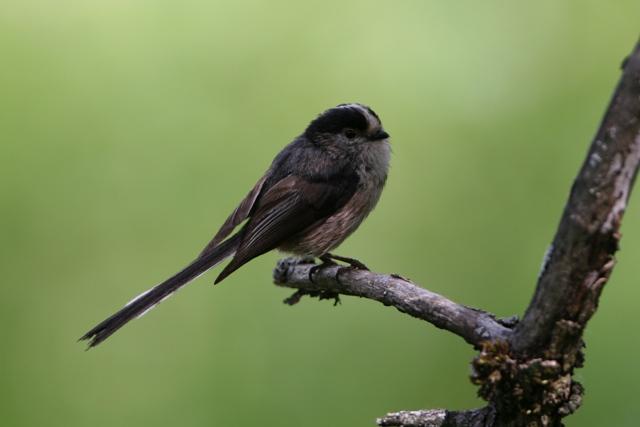 Lond-tail Tit - Aegithalos caudatus - Mito - Mallarenga cuallarga