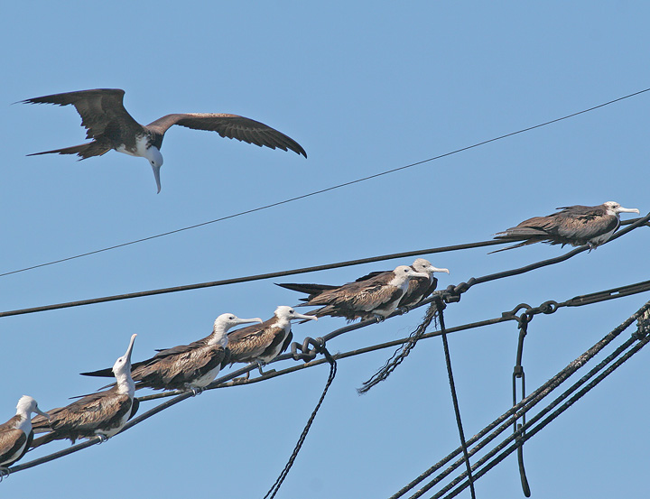 Magnificent Frigatebirds, juvenile
