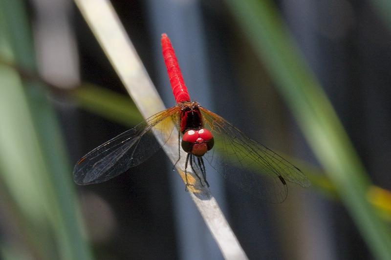 <i>Nannophya pygmaea</i> <br>Scarlet Dwarf