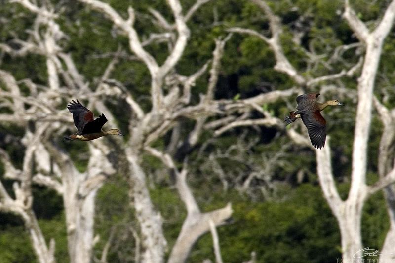 <i>Dendrocygna javanica</i></br>Lesser Whistling Duck