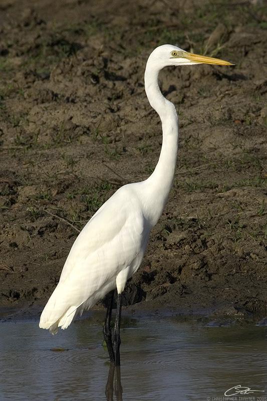 <i>Ardea alba</i> </br>Great Egret