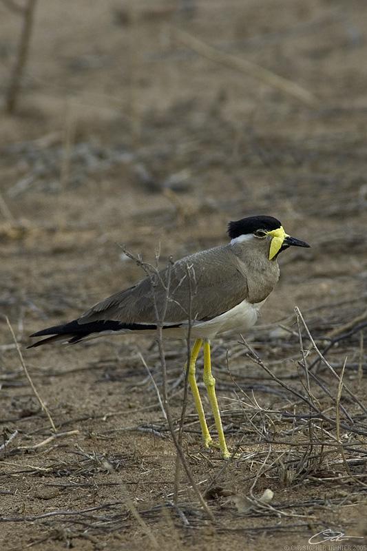 <i>Vanellus malabaricus</i> </br>Yellow-wattled Lapwing