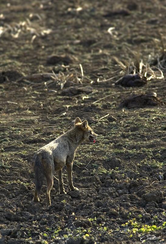 <i>Canis aureus</i> </br>Golden Jackal