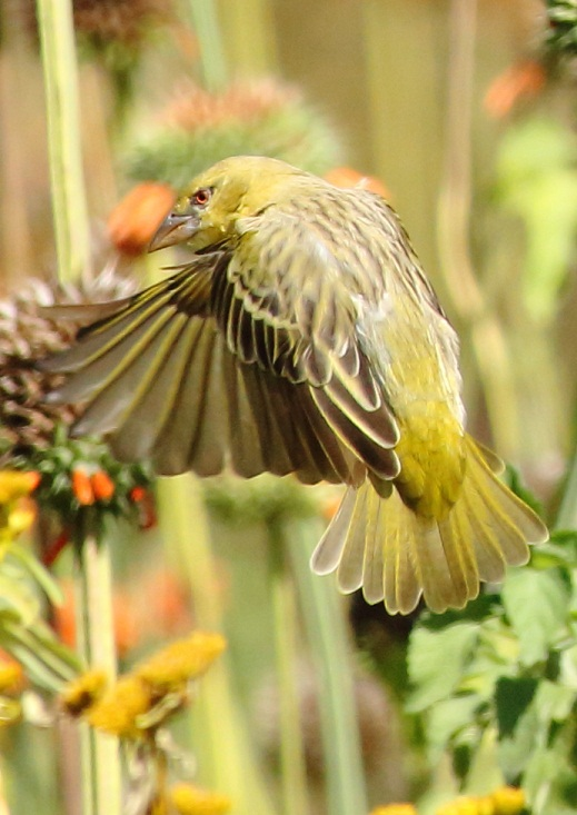 Yellow Weaver (m)