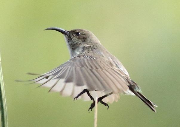 White bellied Sunbird (f)
