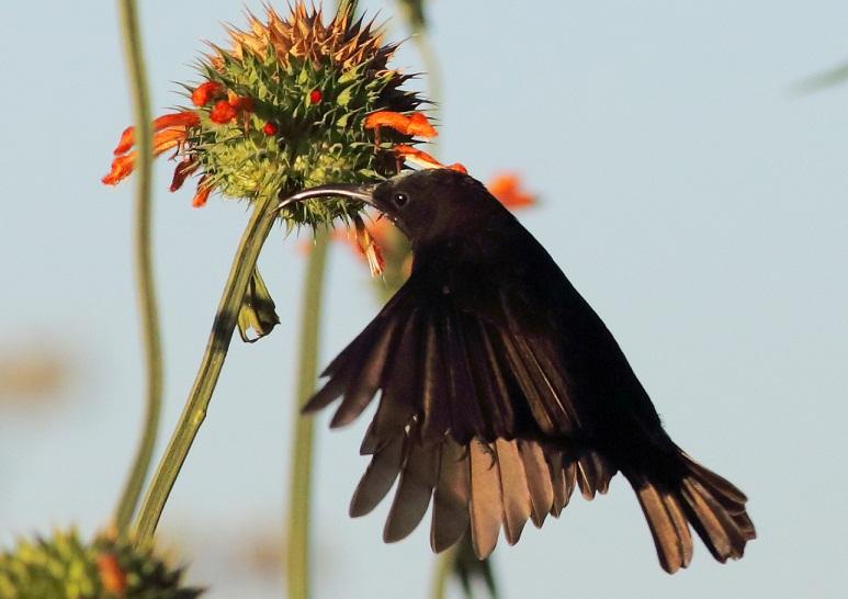 Amethyst Sunbird (m)