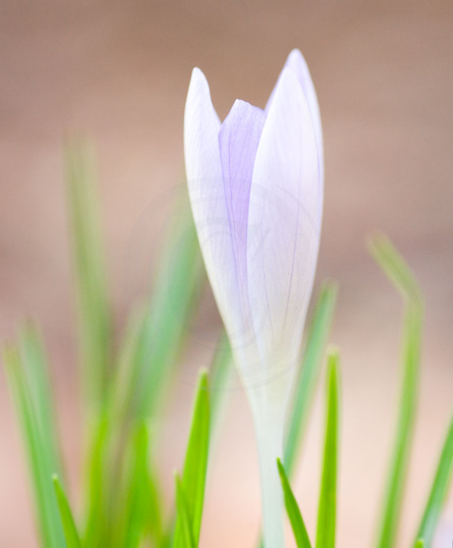 crocus with nifty-fifty(2)