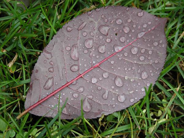 Choke Cherry Leaf - Fall Color