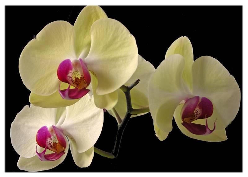Yellow Phaleonopsis