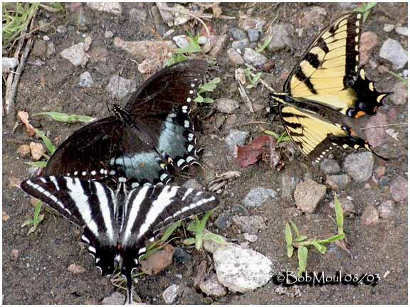 <h5><big>Zebra, Spicebush & Eastern Tiger Swallowtails<br></big><em>E. marcellus, P. troilus, P. Glaucus</h5></em>
