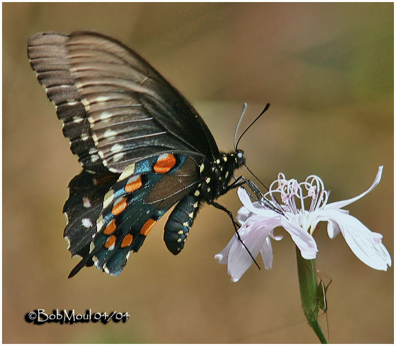 <h5><big>Pipevine Swallowtail<br></big><em>Battus philenor</h5></em><BR>