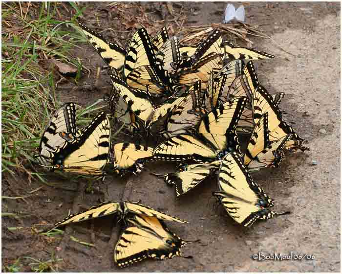 <h5><big>Eastern Tiger Swallowtails-Puddling<br></big><em>Papilio glaucus</h5></em><BR>