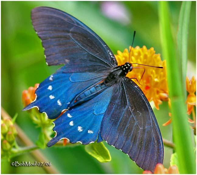 <h5><big>Pipevine Swallowtail<br></big><em>Battus philenor</h5></em>