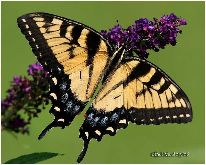 <h5><big>Eastern Tiger Swallowtail-Female<br></big><em>Papilio glaucus</h5></em><BR>