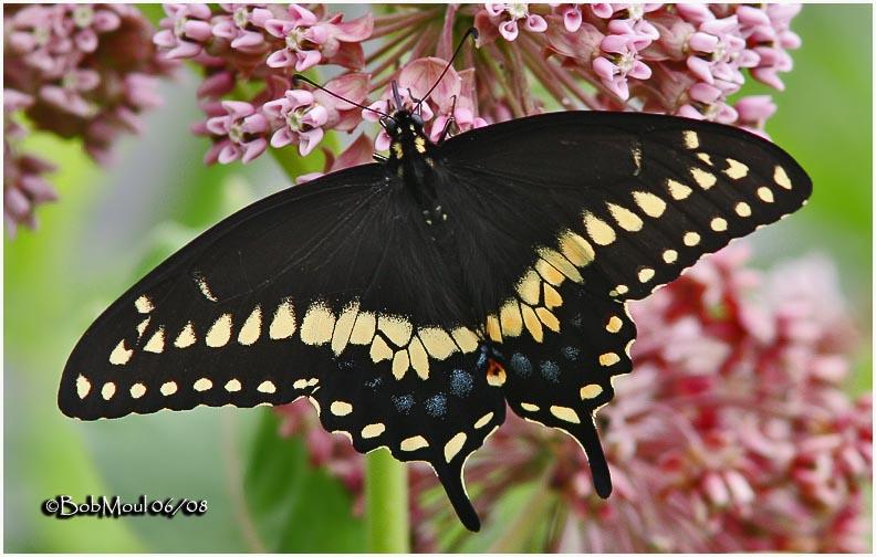 <h5><big>Black Swallowtail-Male<br></big><em>Papilio polyxenes</h5></em>