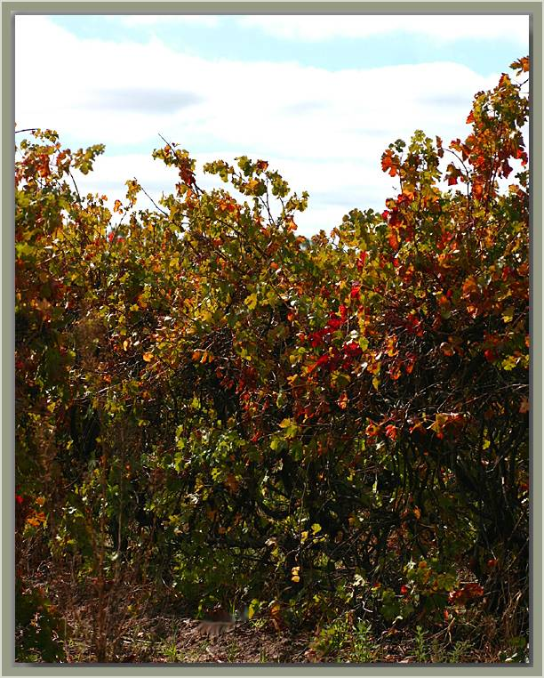 Sunlight on the vines in autumn