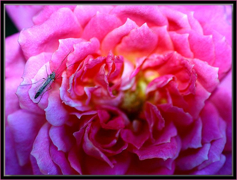 Pink Sunblaze