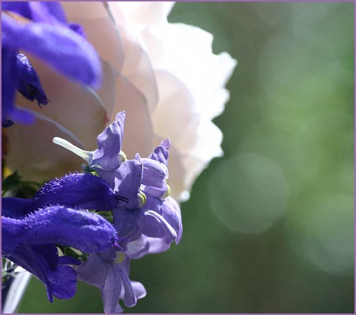 Salvia and Nemesia