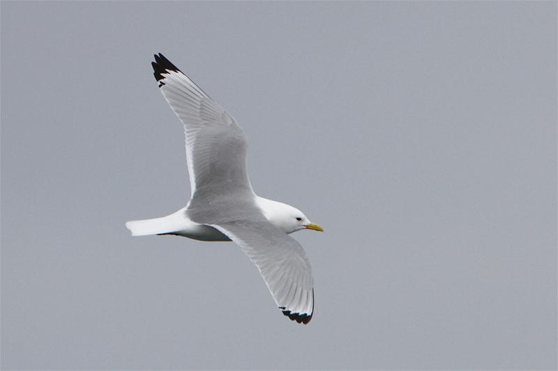 Mouette tridactyle en vol (2 plumages différents) 149115555