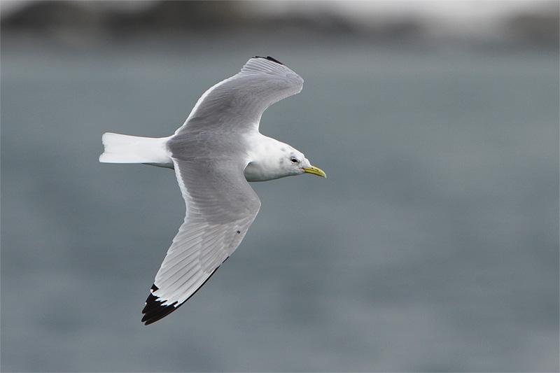 Mouette tridactyle en vol (2 plumages différents) 149115556