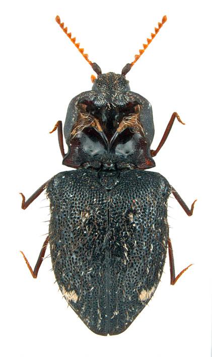Agraeus (Fam. Elateridae), Myanmar