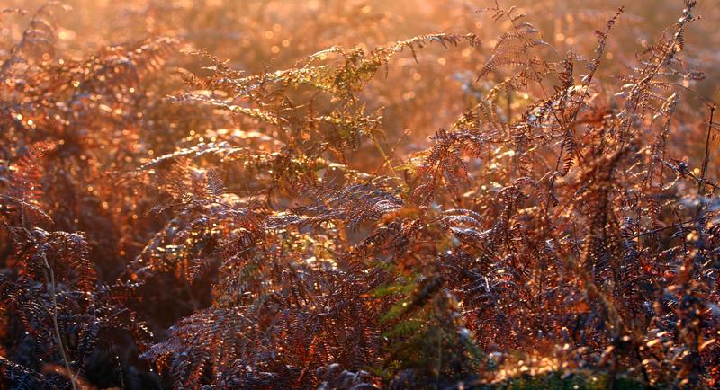 Morning Rays Through Bracken