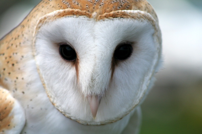 Barn Owl - the endangered species in Illinois photo - Wei ...