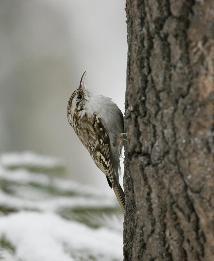 Tree Creeper (Certhia familiaris)