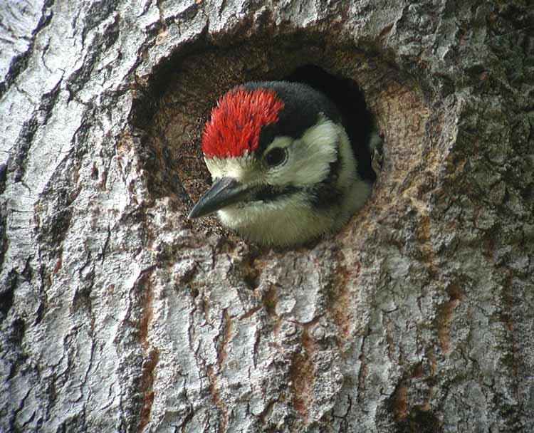 Great Spotted Woodpecker, juvenile (Dendrocopus major)