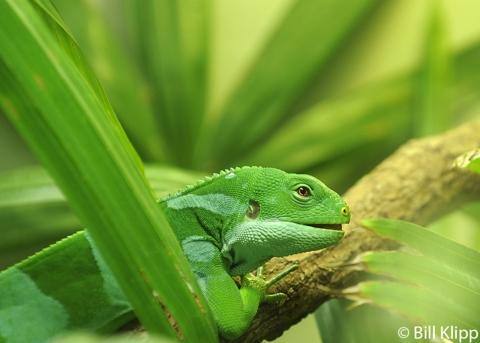 Fiji Iguana, San Diego Zoo