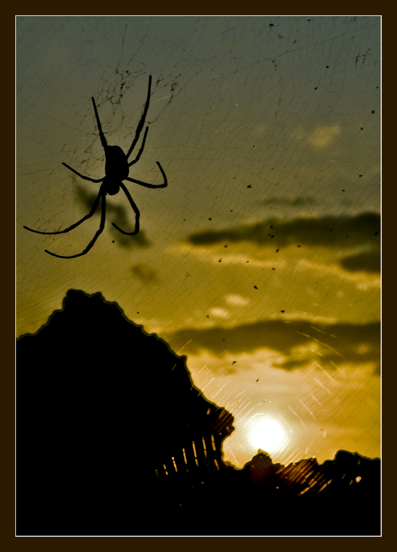 Gigant Spider on sunset (Indonesia)