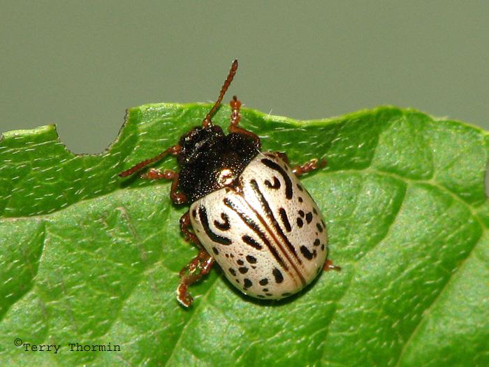 Calligrapha philadelphica - Dogwood Leaf Beetle 2.jpg
