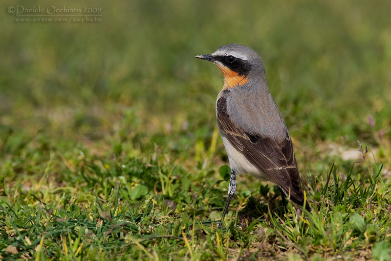 Northern Wheatear (Oenanthe oenanthe)